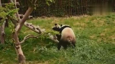 比利时天堂动物园某对熊猫母子家暴现场 震惊比利时