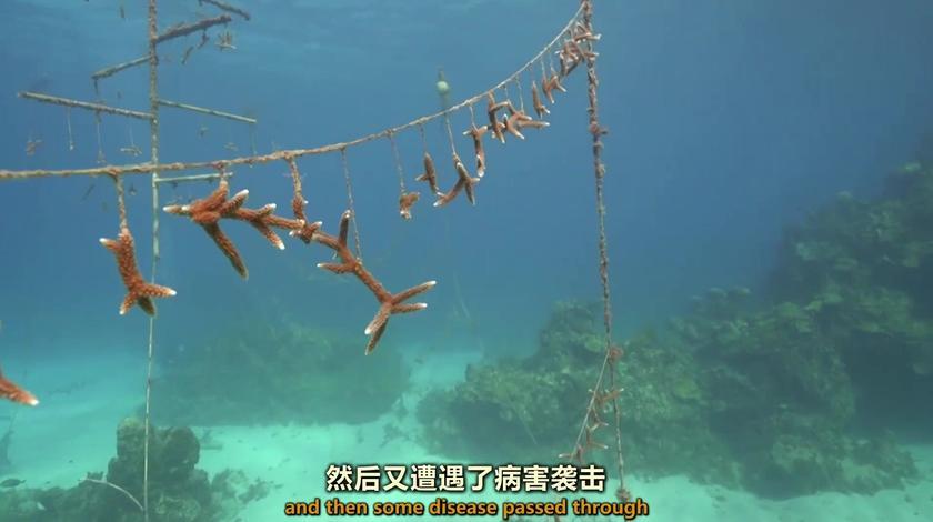 海水暖化和海洋酸化,导致牙买加人种的珊瑚全部死去