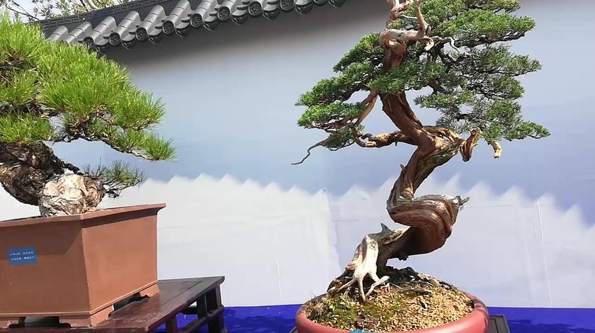 农家小贝带你畅游中国南通森林旅游节盆景展厅,为你带来惊喜!