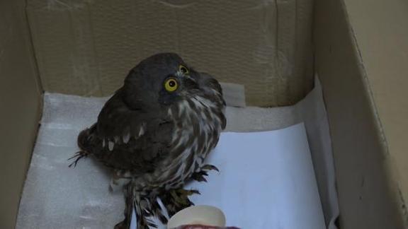 鹰鸮误撞玻璃受伤,专家:白天它看不清