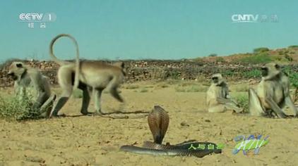 人与自然:眼镜蛇与群猴对峙,面对蛇的袭击猴子们的反应太奇怪