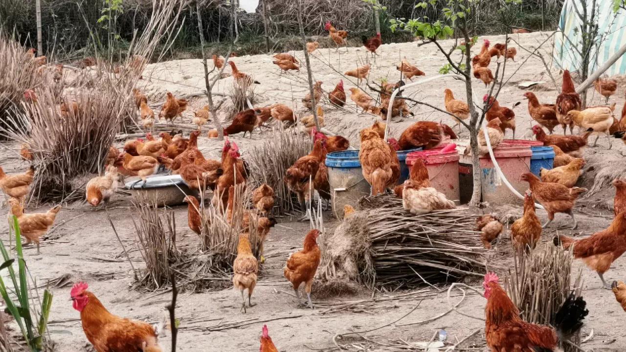 正宗梵净山走地山鸡你喜欢吗?