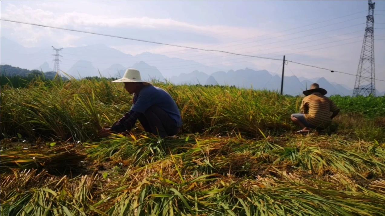 陕西女婿回广西丈母娘家帮忙割水稻。