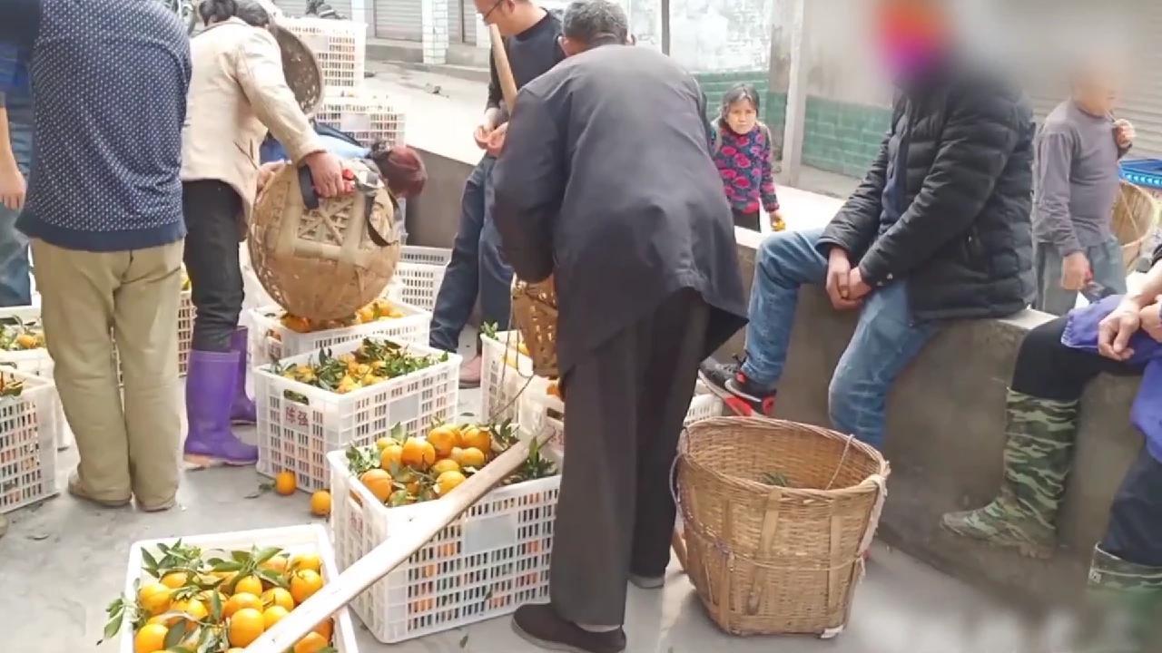 橘子成熟了,果商也开始进村,一家卖水果
