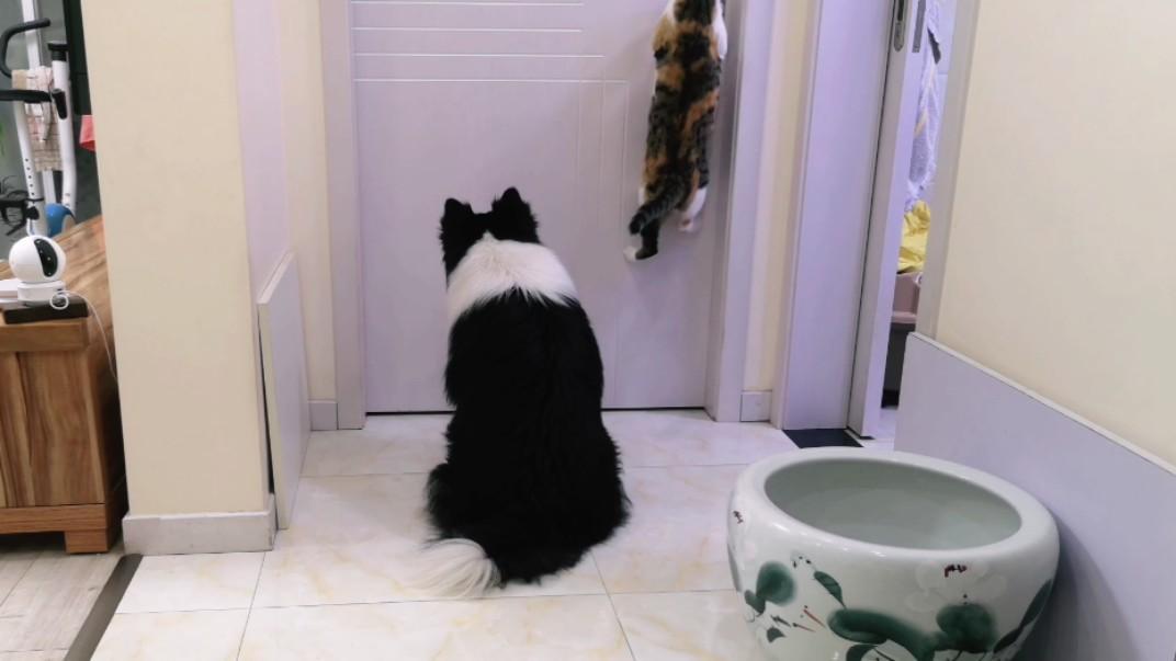 主人关在房间大喊救命,边牧的表现好失望,猫咪却把人感动的想哭
