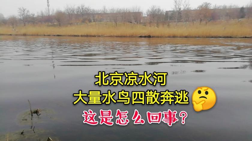 北京凉水河,大群水鸟集体逃跑!难道真的是怪兽来啦?