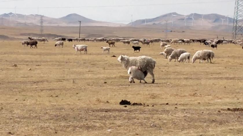 放牧也很辛苦薪水也不高,听听放牧大哥说说他的一个月薪水有多少