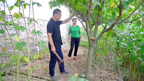 西北小强妈妈要砍菜园子里樱桃树,爸爸一直舍不得,差点吵了起来