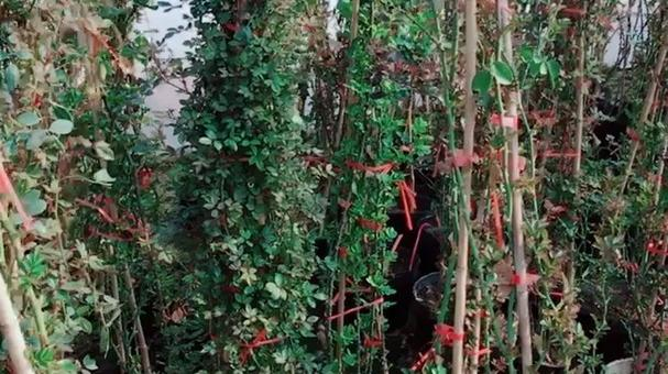 藤本月季大苗,可以做花墙,拱门