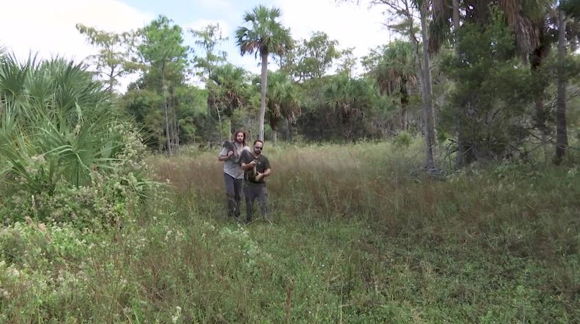 我们的救援:缅甸蟒入侵当地生物系统,生物学家利用雄蟒移除雌蟒